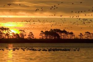 mixed, flock, ducks, geese, fly, wetland area