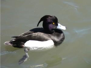 tuftede, duck, svømme, vann, aythya fuligula
