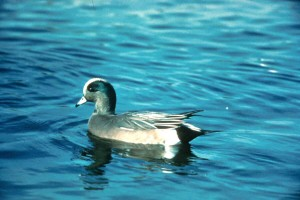 wigeon, swimming
