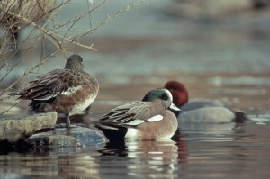 vill, amerikanske, wigeon, and
