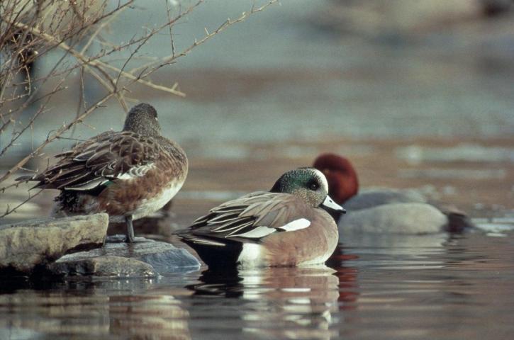 sauvage, américain, wigeon, canard