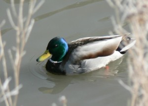 anas platyrhynchos, mallard, swimming, cold, water