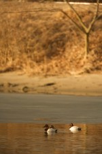 aythya valisineria, aquatic, birds, waterfowl, canvasback, dusks