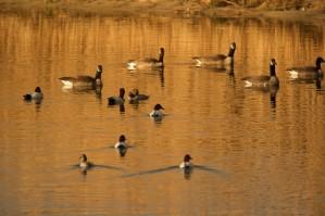 Aythya valisineria, Kanvasand ducks