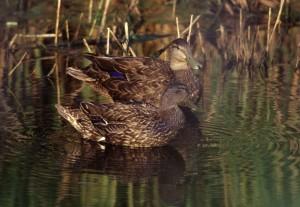 black, ducks, aquatic, birds, anas rubripes