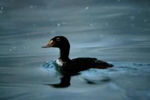 black, scoter, swims, water