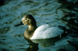 canvasback, bird, duck
