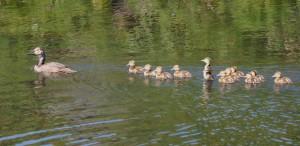 Fuligule à couvain, le canard, le couvain, les oiseaux