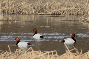 canvasback, duck, bird, brood