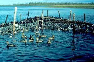 canvasback, duck, water, net