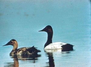 canvasback, canard, paire, eau