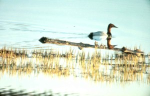 canvasback, duck, swimming, water, alone