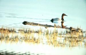 canvasback, le canard, la natation, l'eau, seule
