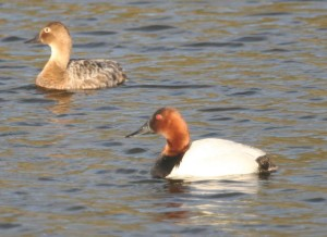 canvasback, ducks, pair, male, female