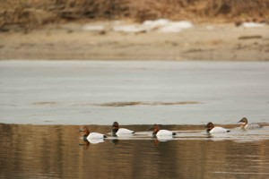 canvasback, ducks, swim, together, aythya Americana