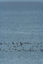 canvasback, ducks, swim, together, chesapeake
