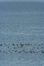Polák, kachny, plavat, společně, chesapeake