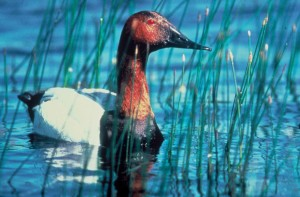 up-close, canvasback, duck, water