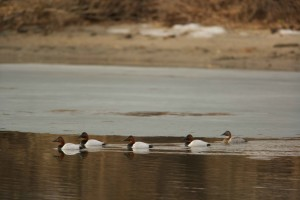 groupe, canvasback, canards, nager, ensemble