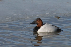 male, canvasback, rests, water