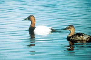 waterfowl, migration, birds, canvasback, ducks