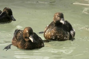 up-close, image, two, hen, ducks
