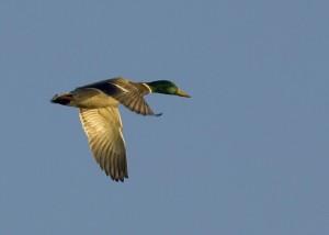 up-blízko, kačica divá, lietanie, otvoriť, obloha