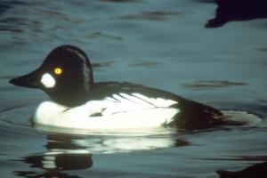 commom goldeneye, αρσενικό, λίμνη, πουλί