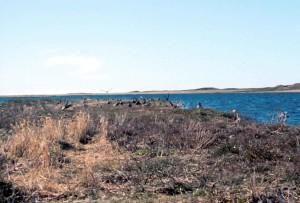 obyčajný, eiders, vtáky, pobrežie