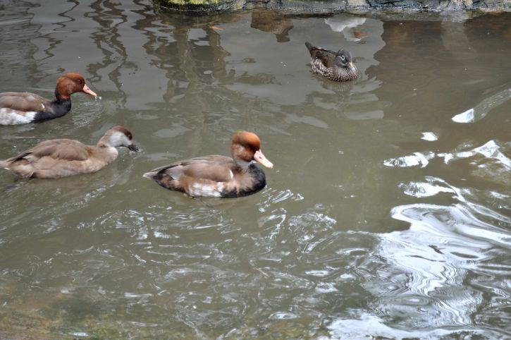 décoratif, canards, piscine