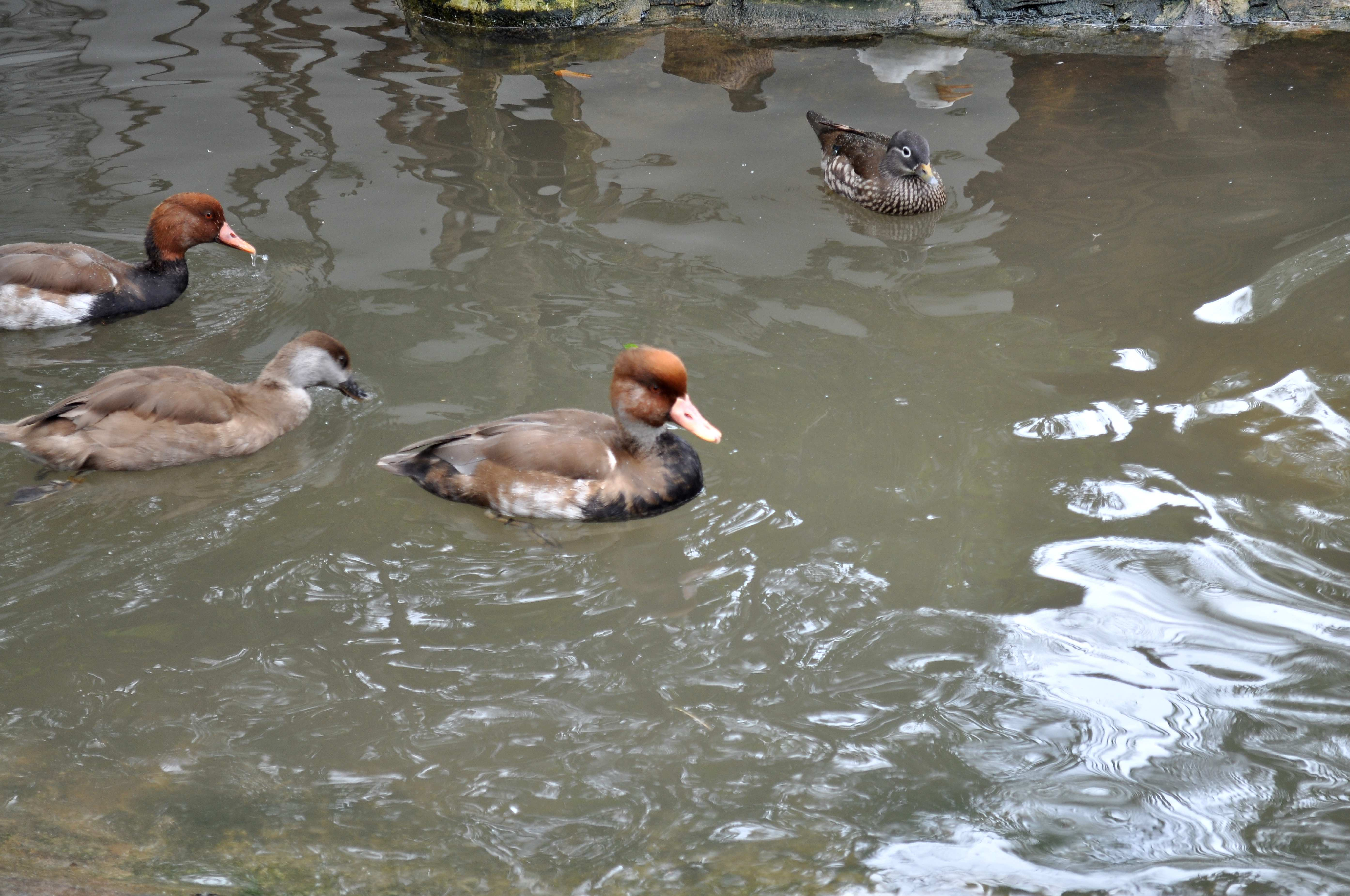 Free photograph; decorative, ducks, pool