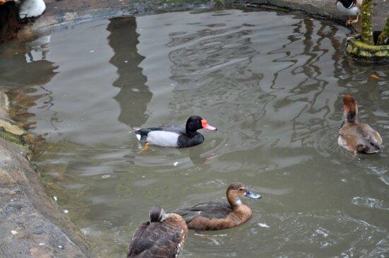 decorative, male, female, ducks, pool