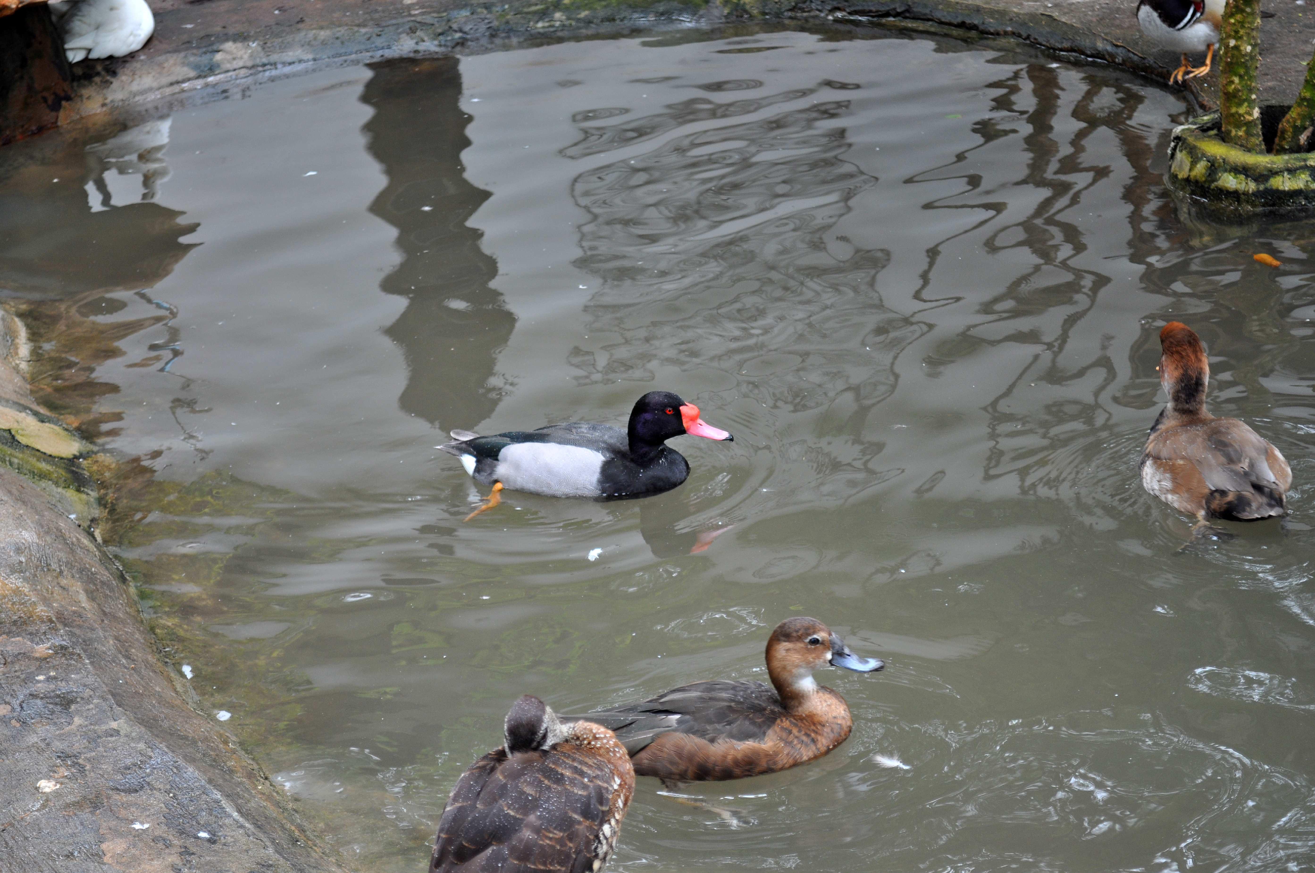 Free photograph; decorative, male, female, ducks, pool