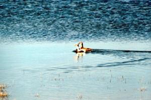 canard, paire, la natation, la distance