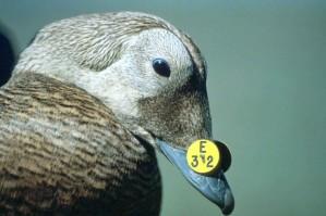 kacsa, azonosítására, bélyegző, csőr