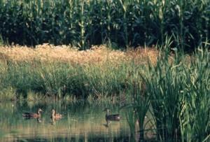 canards, des zones humides