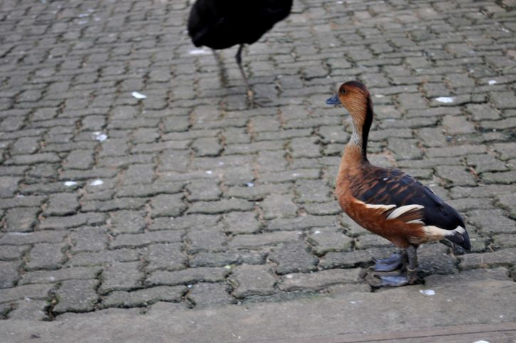female, domestic, duck, sidewalk