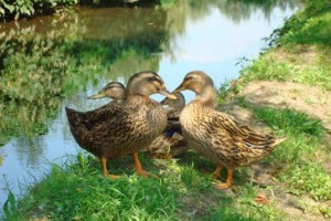femelles, colverts, canards