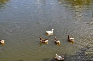 flock, domestic ducks, lake