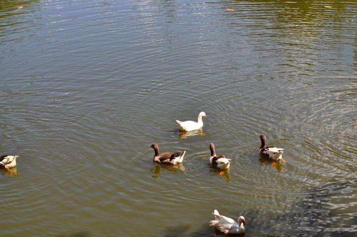 flock, domestic, ducks, lake