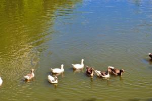troupeau, canards, piscine