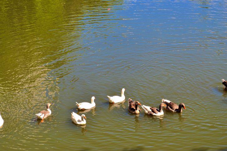 flock, ducks, pool