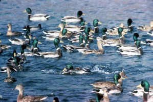 troupeau, colvert, oiseaux, eau, anas platyrhynchos