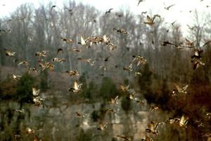 flock, mallards, flight