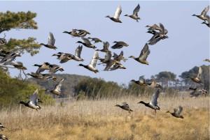troupeau, oiseaux aquatiques, voler, zones humides
