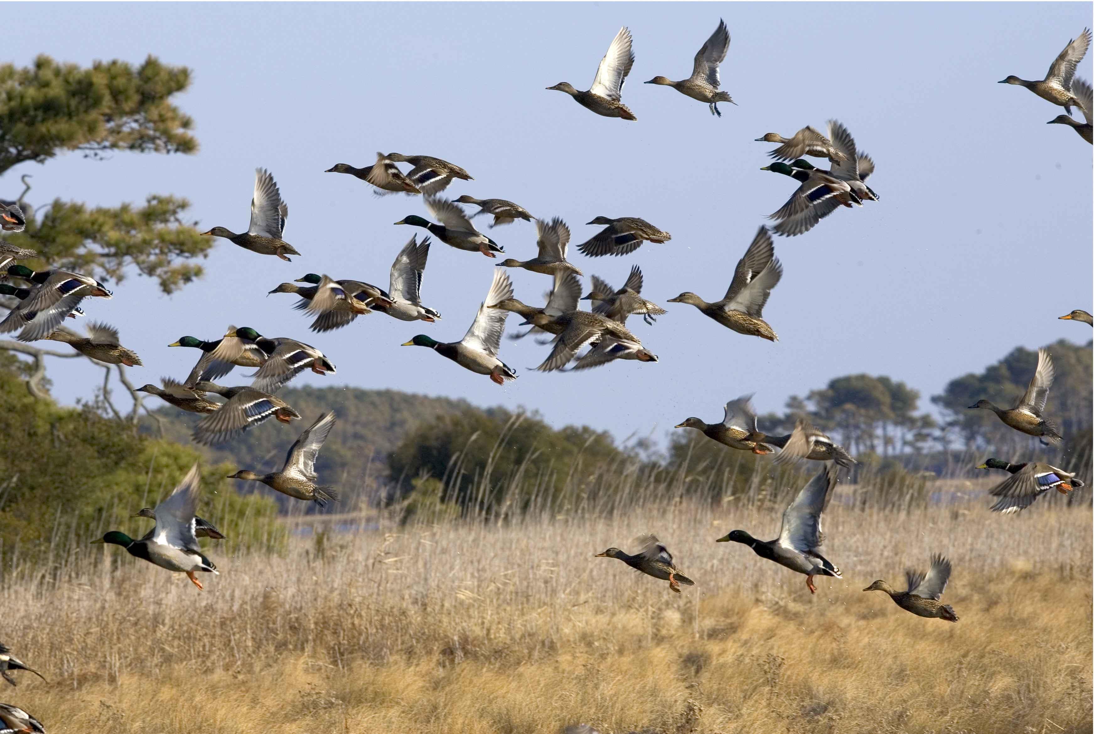 Free picture: flock, waterfowl, fly, wetland  Flock