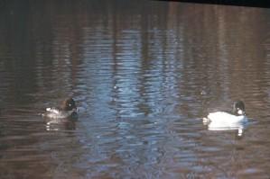 goldeneye, duck, swimming