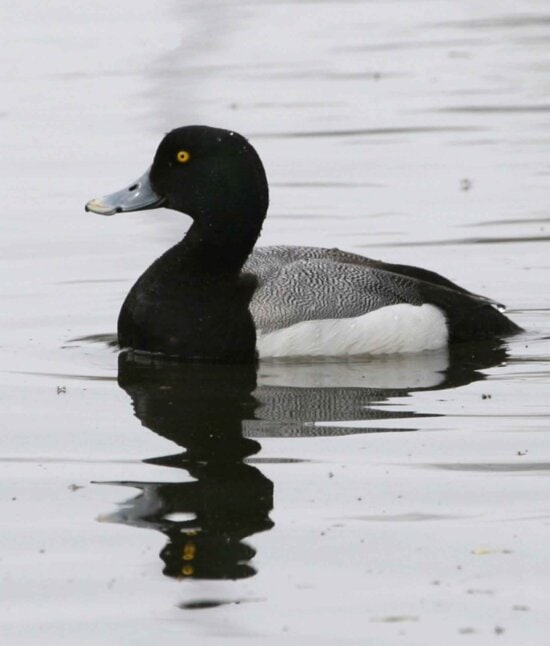 Greater scaup drakes