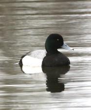 greater, scaup, drake, waterfowl, bird