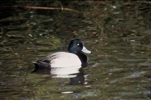 greater, scaup, waterfowl, drake, duck, aythya marila